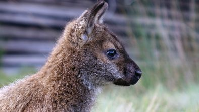 Wallaby profile