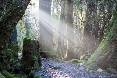 Filtering sunlight through the trees at Weindorfers Forest Walk in Cradle Mountain National Park