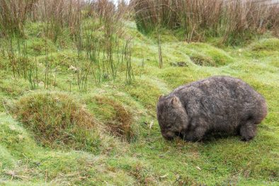Wombat in the grass at Cradle Mountain